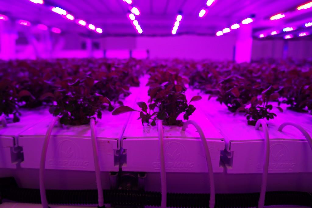 Arugula grows under LED lights at Infinite Harvest. Photos by Katherine Blunt.
