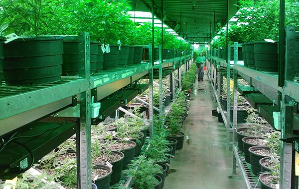 marijuana (2) nf